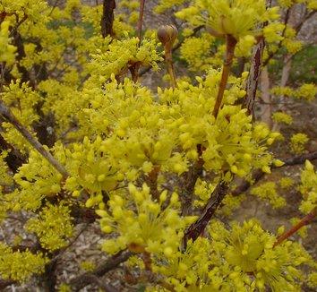 Cornus mas 9 flower