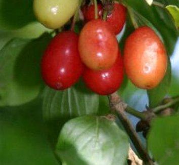 Cornus mas 13 fruit