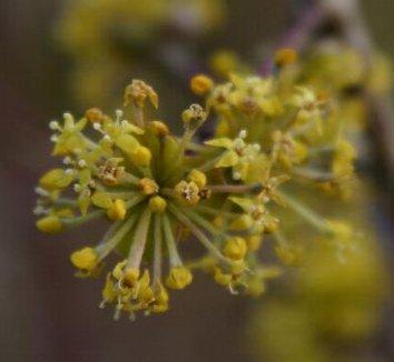 Cornus mas 12 flower