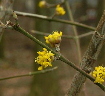 Cornus mas 18 flower