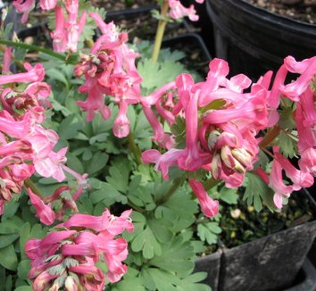 Corydalis solida 'Beth Evans' 4 flower