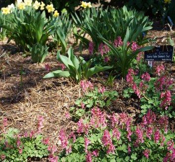 Corydalis solida 'Beth Evans' 9 flower