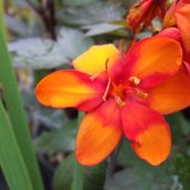 Crocosmia 'Bright Eyes'