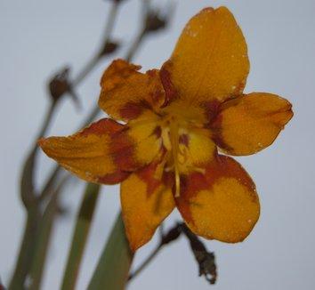 Crocosmia 'Emily McKenzie' 8 flower