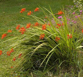 Crocosmia 'Lucifer' 1 flower, form