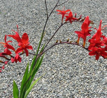 Crocosmia 'Lucifer' 4 flower