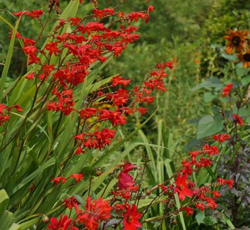 Crocosmia 'Lucifer' 15 flower