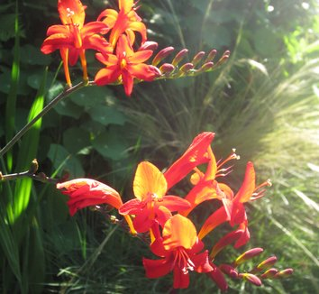 Crocosmia 'Lucifer' 18 flower