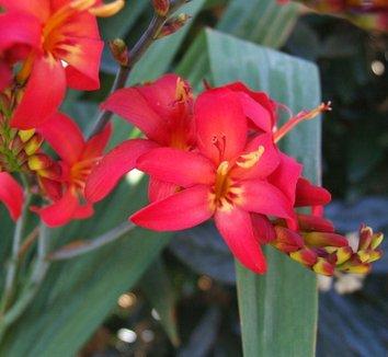 Crocosmia 'Walberton Red' 1 flower