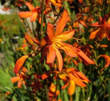 Crocosmia aurea 1 flower