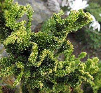 Cryptomeria japonica 'Cristata' 1