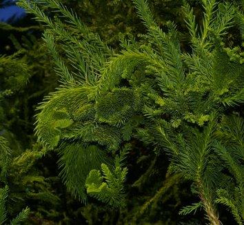 Cryptomeria japonica 'Cristata' 4