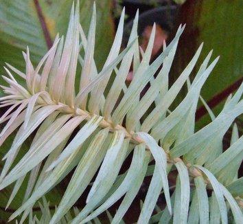 Cunninghamia lanceolata 'Glauca' 2