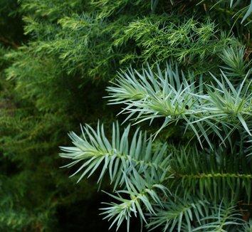 Cunninghamia lanceolata 'Glauca' 11