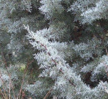 Cupressus arizonica var. glabra 'Blue Ice' 1