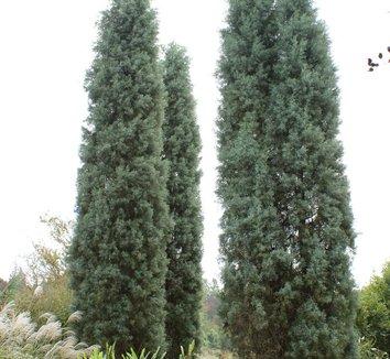 Cupressus arizonica var. glabra 'Blue Ice' 3 form