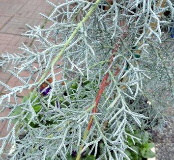 Cupressus arizonica var. glabra 'Blue Ice' 11