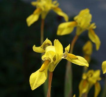 Cypella peruviana 6 flower