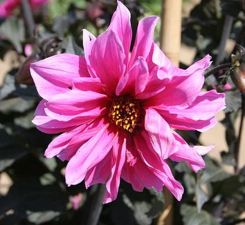 Dahlia 'Fascination' 1 flower