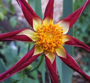 Dahlia 'Tahoma Moonshot' 1 flower
