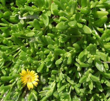 Delosperma nubigenum 4 flower