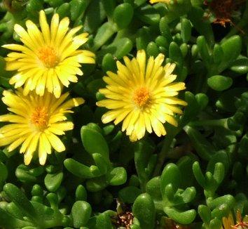 Delosperma nubigenum 3 flower