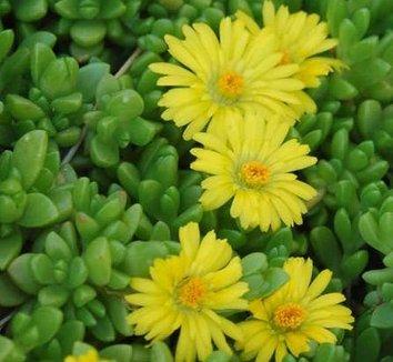 Delosperma nubigenum 8 flower