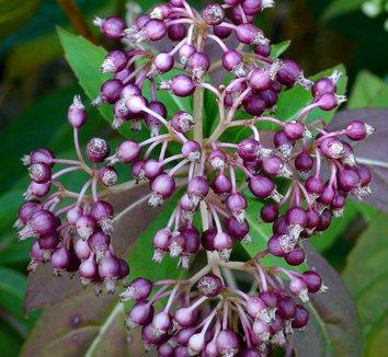Dichroa febrifuga 2 flower