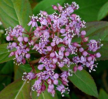 Dichroa febrifuga 3 flower
