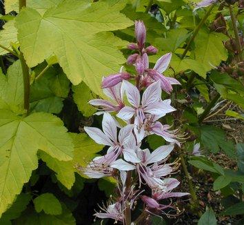 Dictamnus albus var purpureus 1 flower