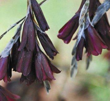 Dierama 'Cosmos' 1 flower