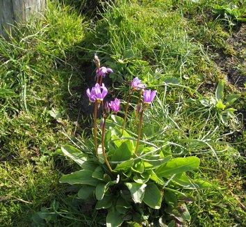 Dodecatheon jeffreyi 8 flower, form