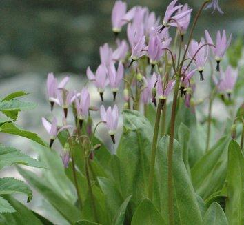 Dodecatheon jeffreyi 9 flower