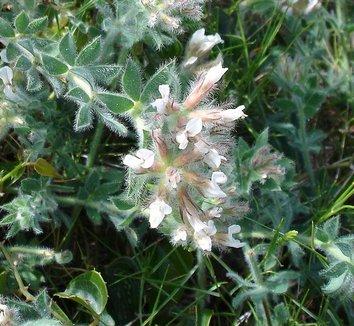 Dorycnium hirsutum 4 flower