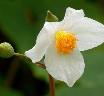 Eomecon chionantha 8 flower