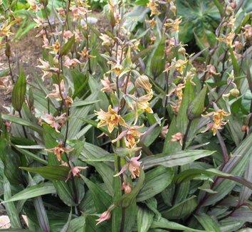 Epipactis gigantea 'Serpentine Night' 2 flower