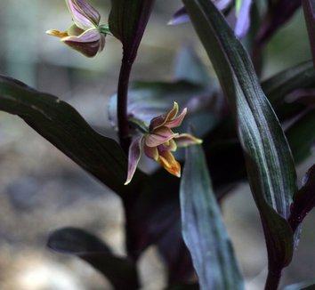 Epipactis gigantea 'Serpentine Night' 5 flower, form