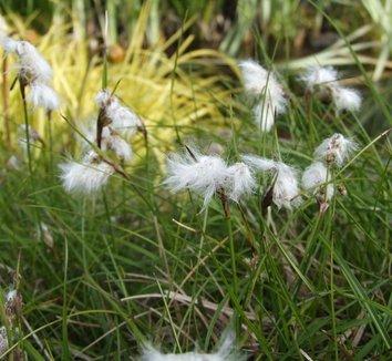 Eriophorum angustifolium 1 flower