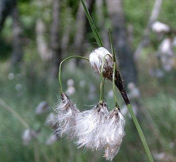 Eriophorum angustifolium 4 flower
