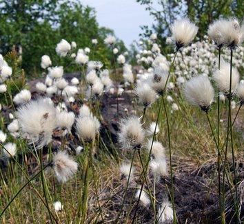 Eriophorum latifolium 1 flower, form