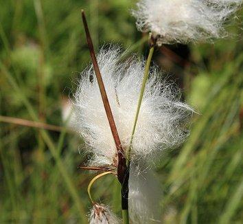 Eriophorum latifolium 4 flower