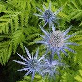 Eryngium 'Sapphire Blue' PP11088