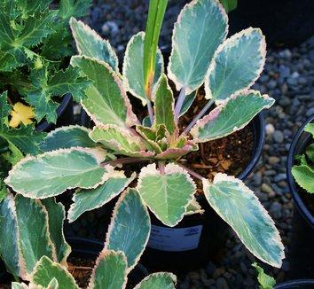Eryngium planum 'Jade Frost' 1