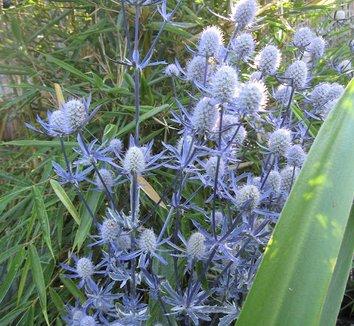 Eryngium planum 'Jade Frost' 8 flower