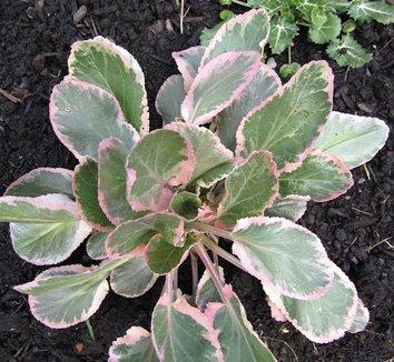 Eryngium planum 'Jade Frost' 9