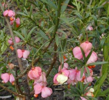 Euonymus nanus 1 flower