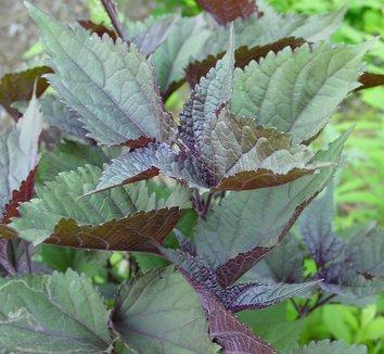 Ageratina altissima 'Chocolate' 10