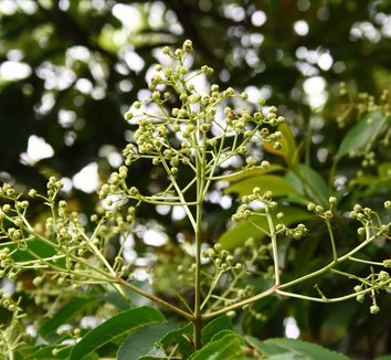 Euscaphis japonica 2 flower