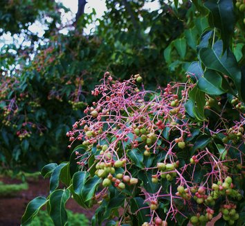 Euscaphis japonica 4 fruit