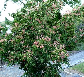 Euscaphis japonica 6 form